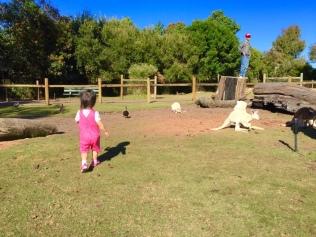 Little E running into the kangaroo enclosure