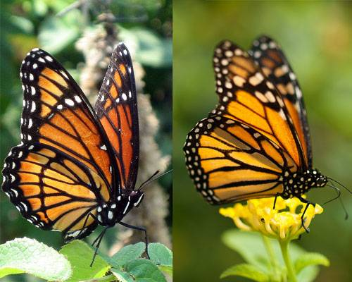 viceroy-monarch-butterfly