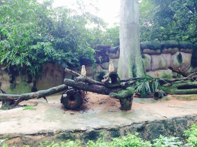 Meerkats on sentry duty