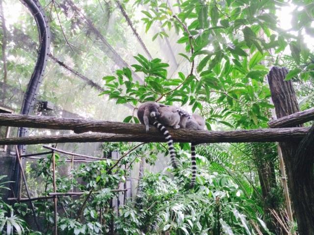 Ringed-tailed lemurs