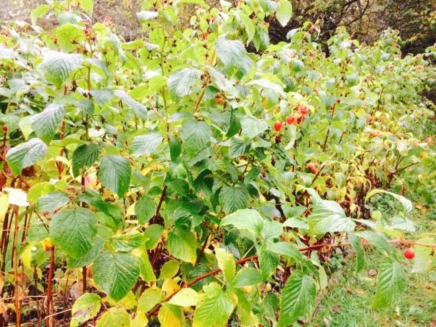 A raspberry bush too!