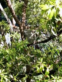 Koalas in Taronga Zoo